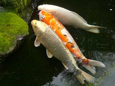 Carp and pond fish culture bbs for Suttle fish farm